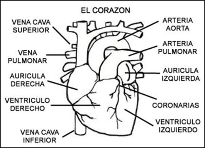 Cuentos de Don Coco: SISTEMA CIRCULATORIO RESUMEN - APARATO ...