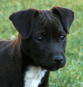 Community Patterdale Terrier Dog Breeds Terrier Dog Breeds