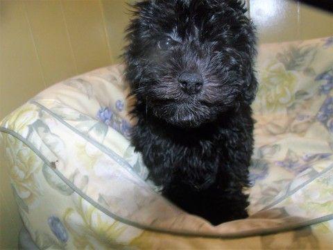 HavanesePoodle (Toy) Mix puppy for sale in PATERSON, NJ