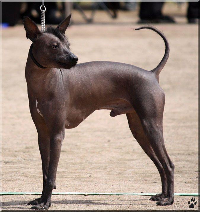 Deviantart More Like Santtu The Sheltie 10 By Geisari Hairless Dog Peruvian Hairless Dog Xoloitzcuintli