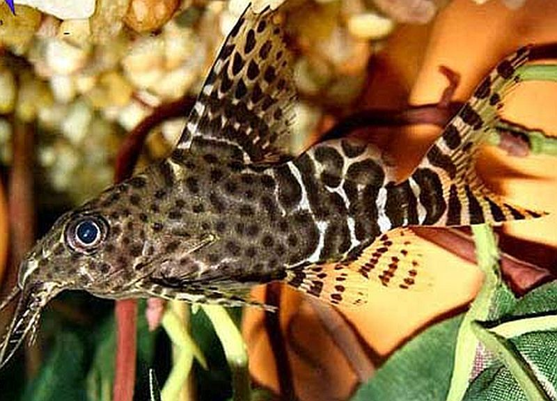 Synodontis Nigriventris Another Upside Down Catfish Species Upside Down Catfish Beautiful Fish Catfish