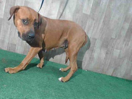 Orlando, FL Boxer. Meet LENA a Dog for Adoption. Pets