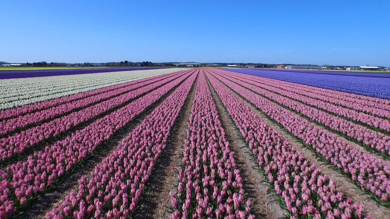 Dutch Flower Fields Near Keukenhof The Netherlands Drone Footage Dji Inspire 1 Aerial Footage Aerial Photography Drone Aerial Photo