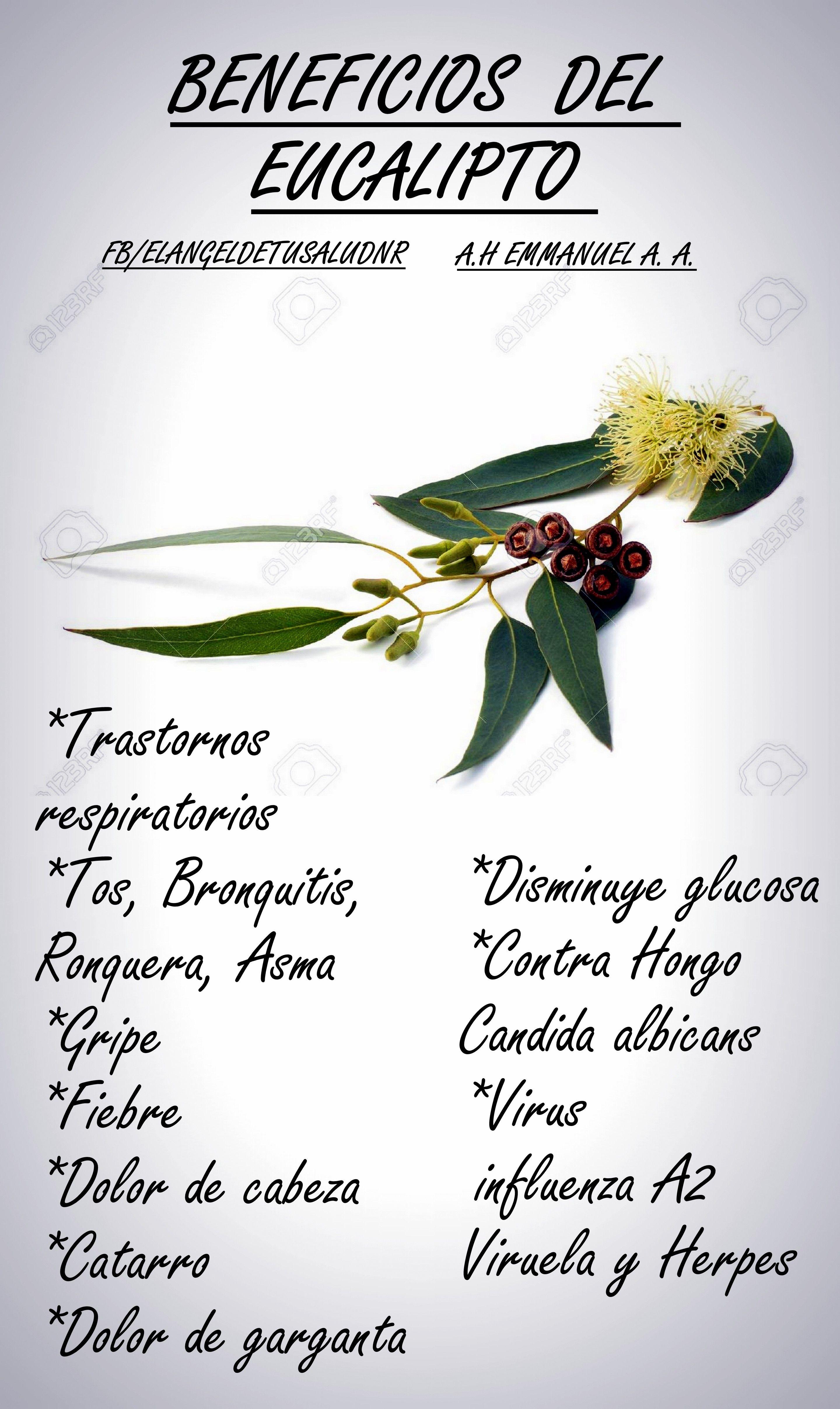 Beneficios del eucalipto beneficios salud for Planta decorativa con propiedades medicinales