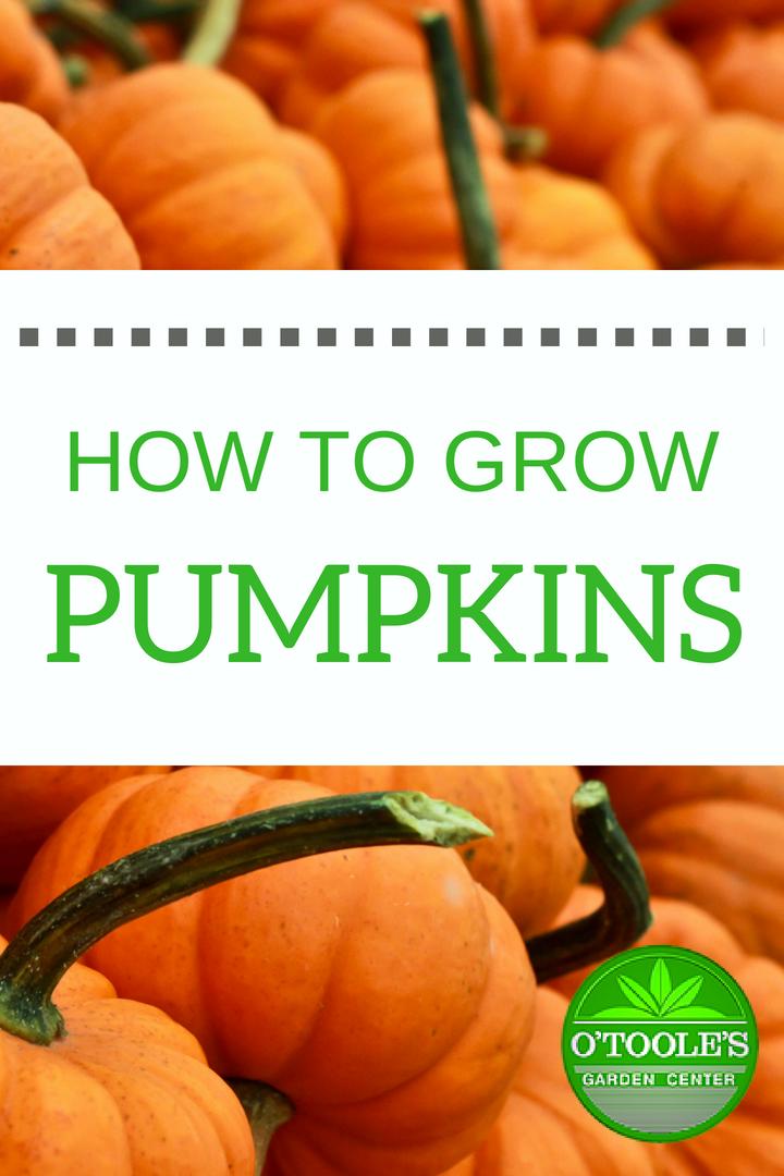 Single Post Pumpkin Growing Pumpkins Planting Pumpkins