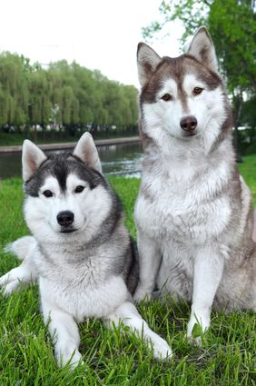 The Alaskan Malamute Temperament Is Not For The Fainthearted