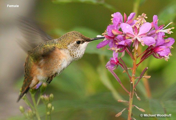 Rufous Hummingbird Female Birds, Beautiful birds