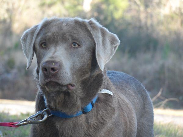 Silver Labrador Retriever Beautiful Dog With Images