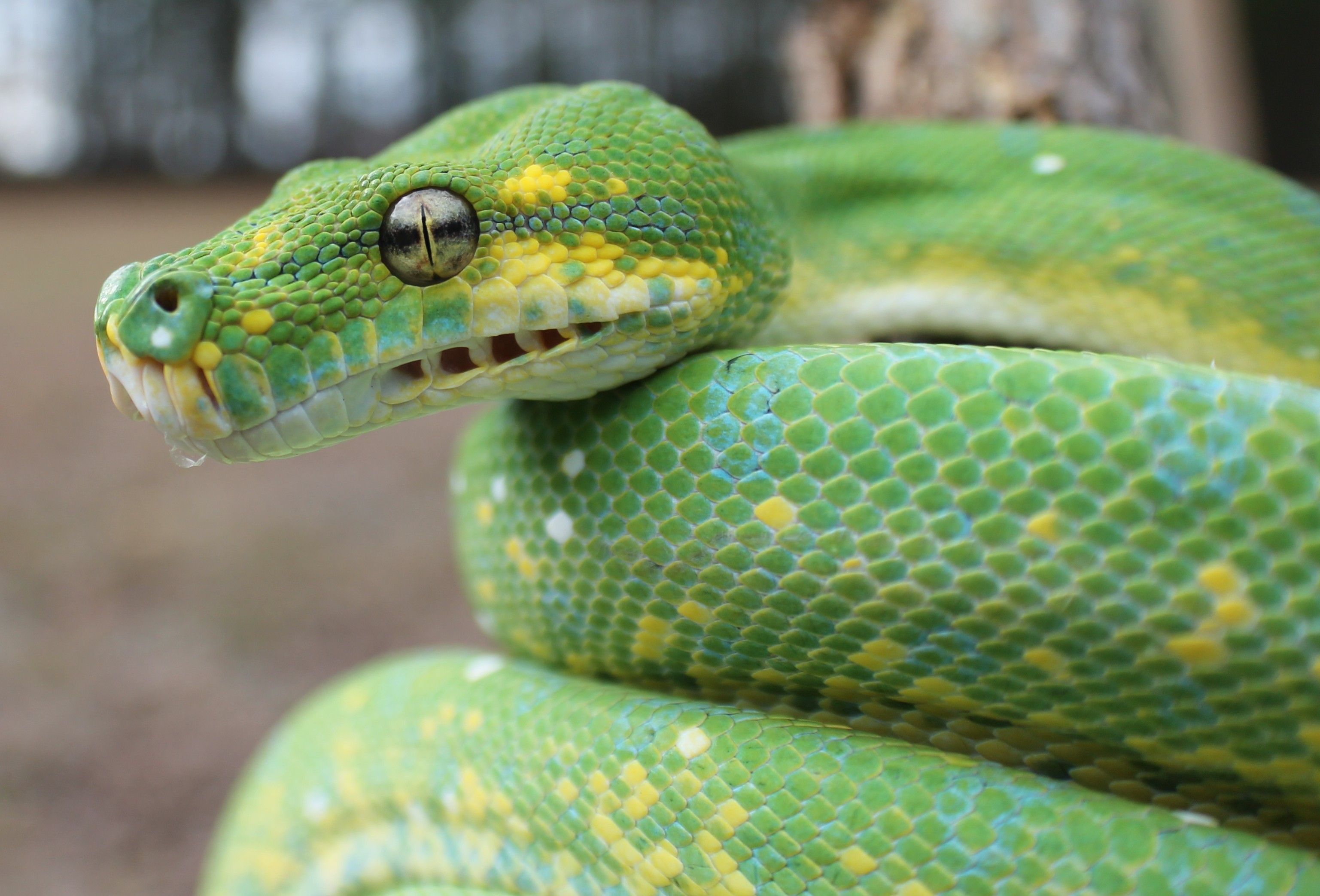 Green Tree Python morph | Reptiles and Amphibians | Pinterest ...