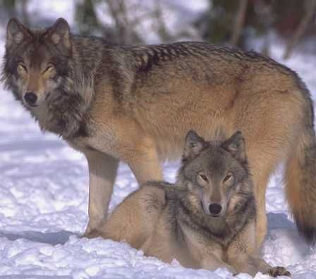 Whitetail Predators Wolf Photos Wolf Pictures Arctic Wolf