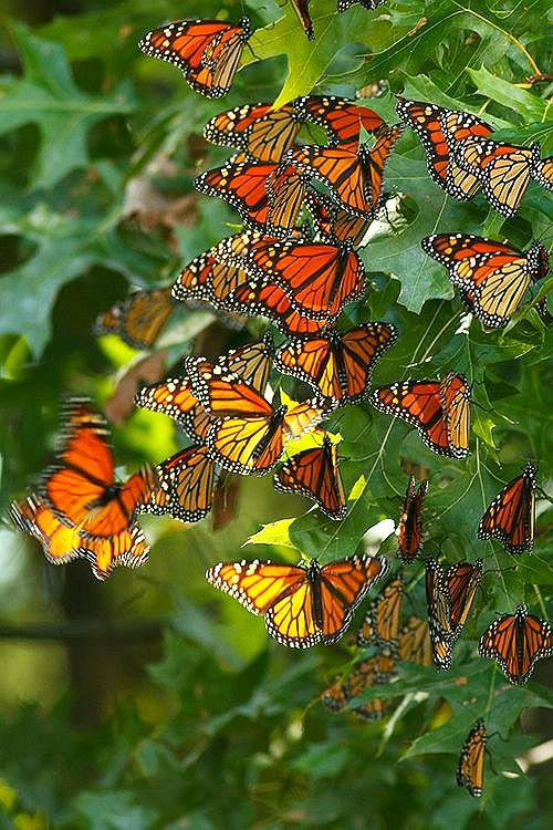 Monarch #Butterflies