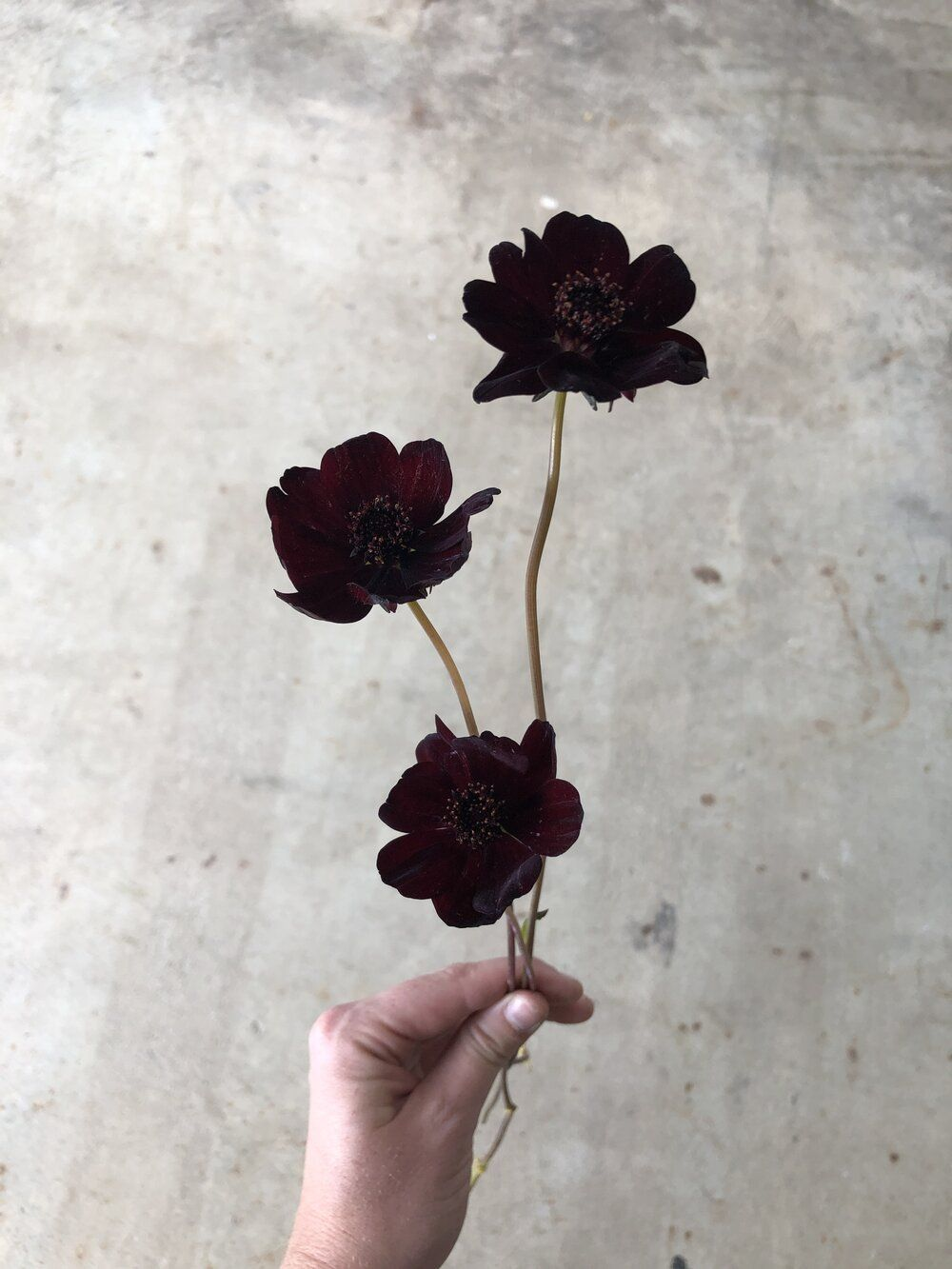 A Day In The Life Your Florist Evergreen Flower Co In 2020 Chocolate Cosmos Evergreen Flowers Chocolate Cosmos Flower