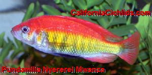 Pundamilia Nyererei Mwanza African Cichlids Cichlids African Cichlid Aquarium