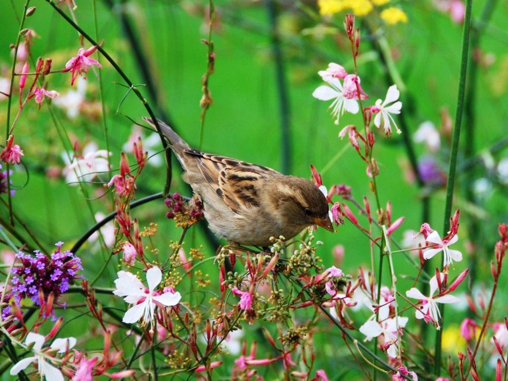 http://onehdwallpaper.com/wp-content/uploads/2014/09/Sparrow-in-flowers-Summer.jpg