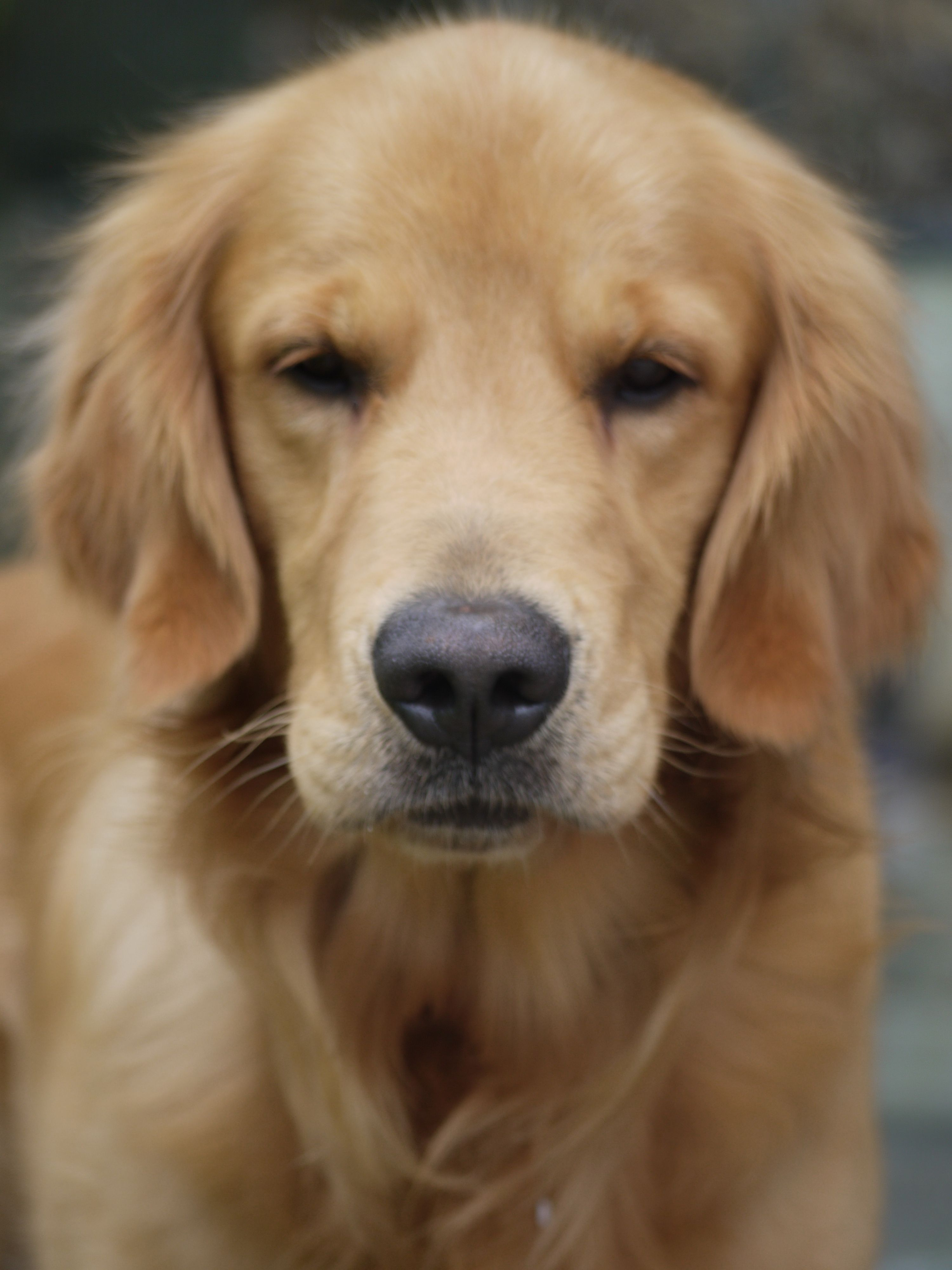 Cute Pictures Of Golden Retreiver Dogs