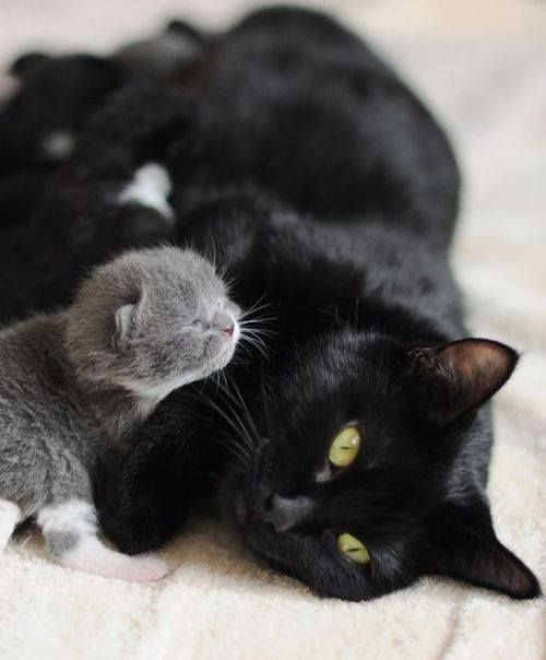 Timeline Photos Nothing But Kitty Cats Facebook Cute Animals Animals Grey Kitten