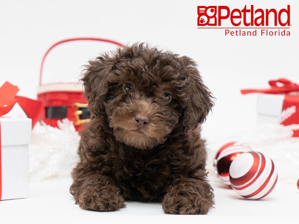Petland Florida Has Mini Poodle Puppies For Sale Check Out All
