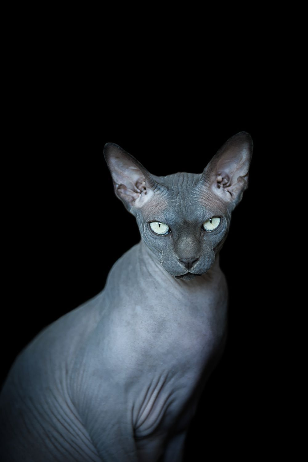 12 Photos Of Hairless Cats With Breasts That Will Make Your Jaw Drop Hairless Cat Cats Cat Anatomy