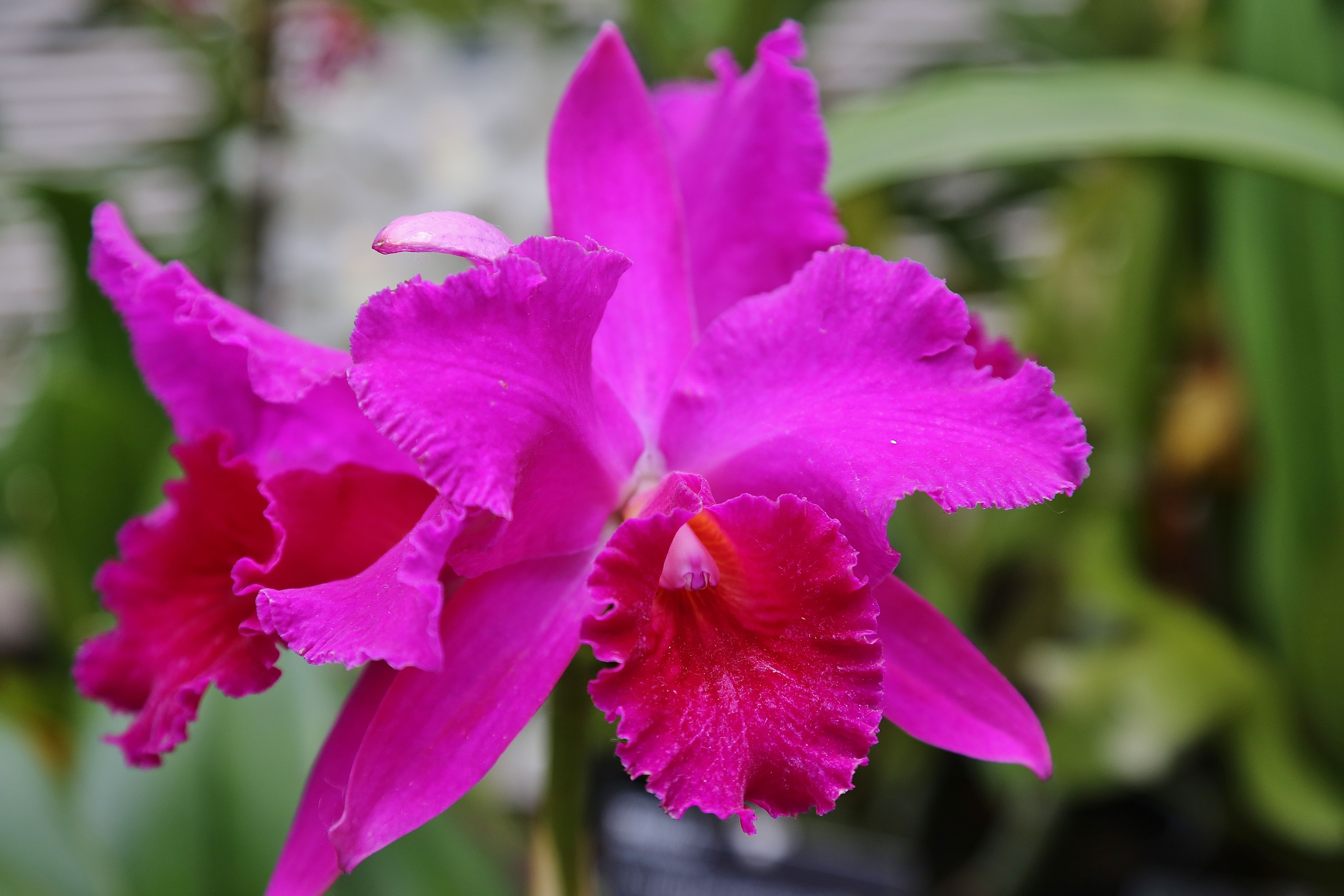 Cattleyas In 2020 Orchids Flowers Bloom