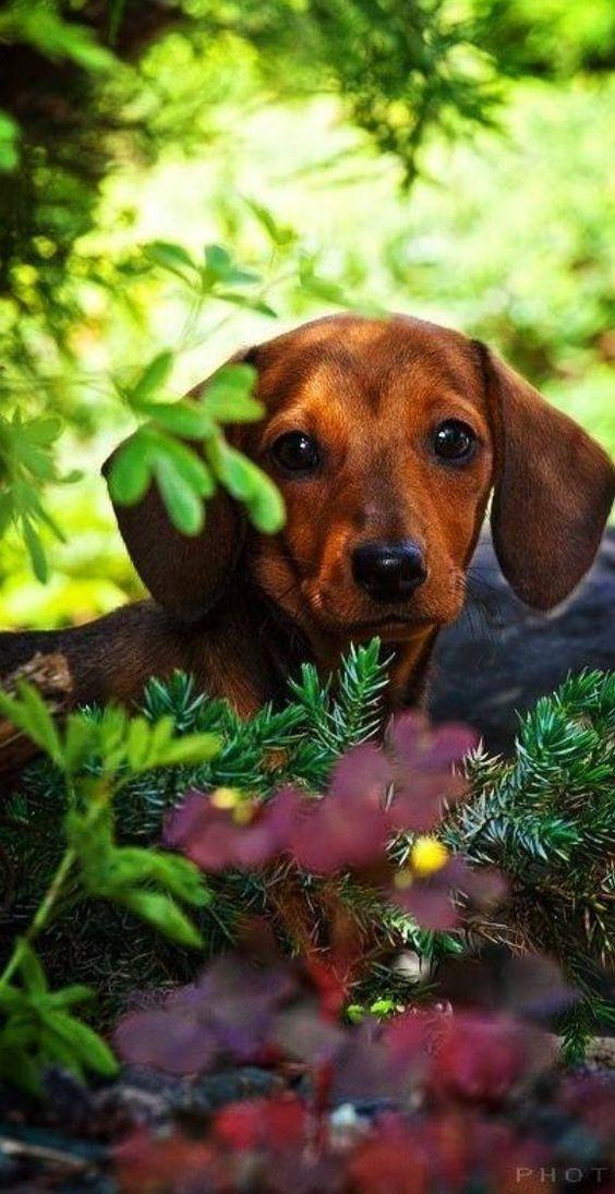 Image result for 犬 daschund 美しい