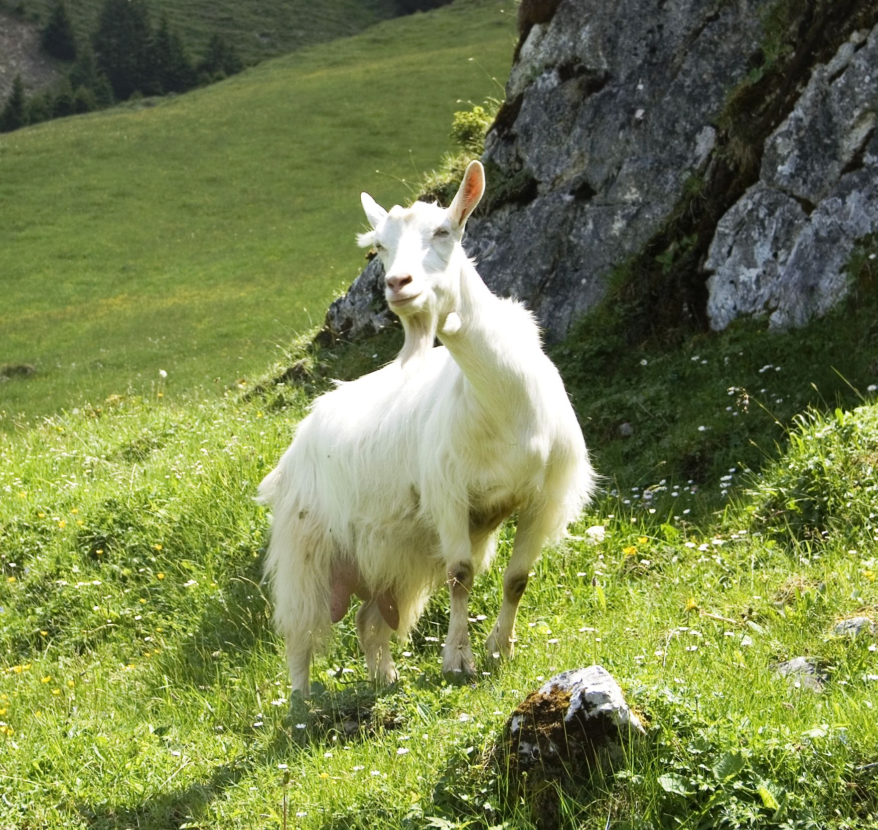 Appenzell goat (French Chèvre d'Appenzell, German