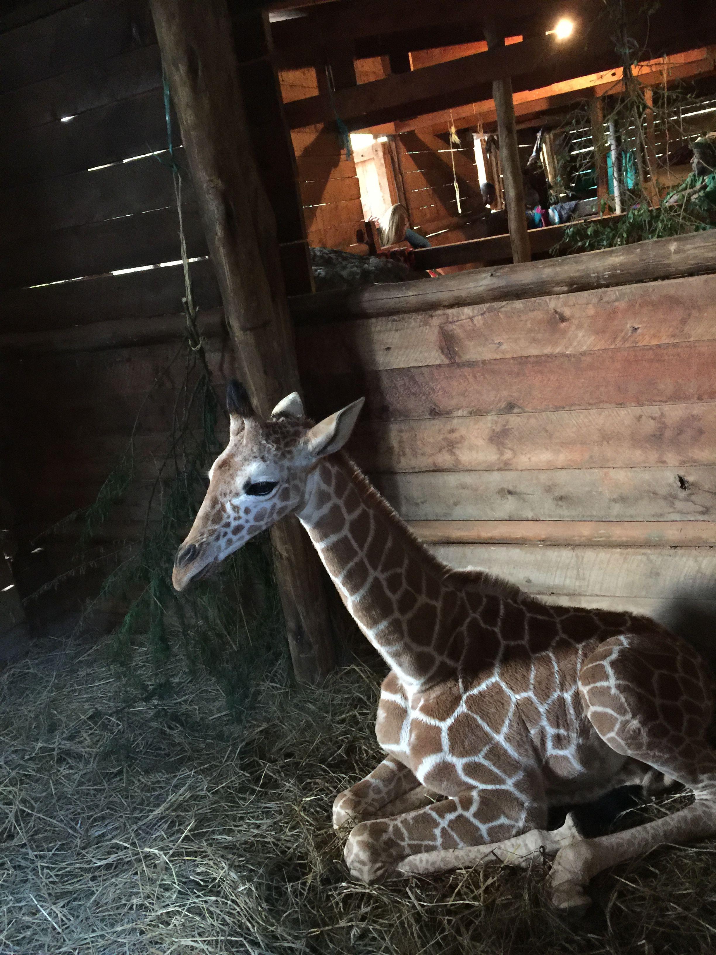 Orphaned Kiko Male Giraffe Born Sept 2015 Kenya Adopted by