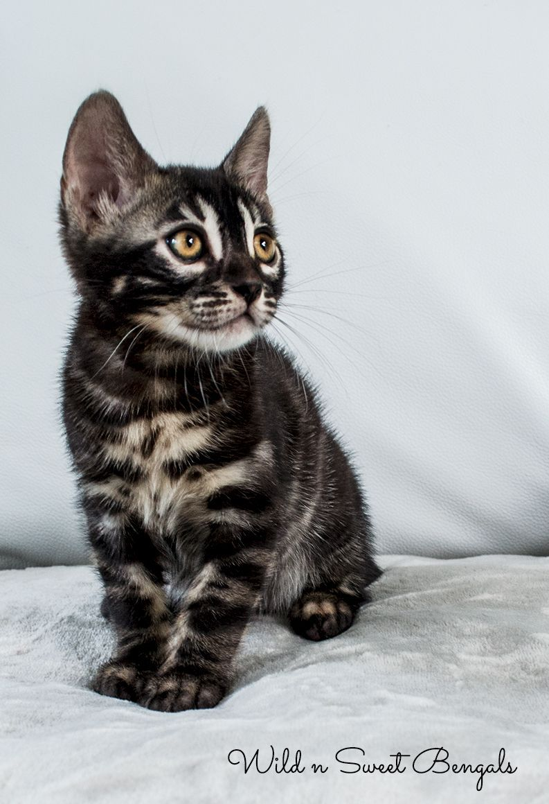 Some Of The Most Beautiful Charcoal Bengal Kittens Are From Wild N Sweet Bengals Cattery See More Spectacular Ch Gato Exotico Gato De Bengala Animales Bonitos