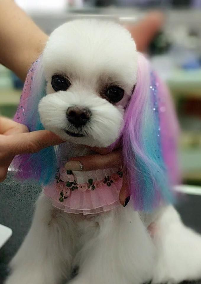 Pin by Janet on (Dyed) Colored Dogs | Dog Grooming, Creative ...