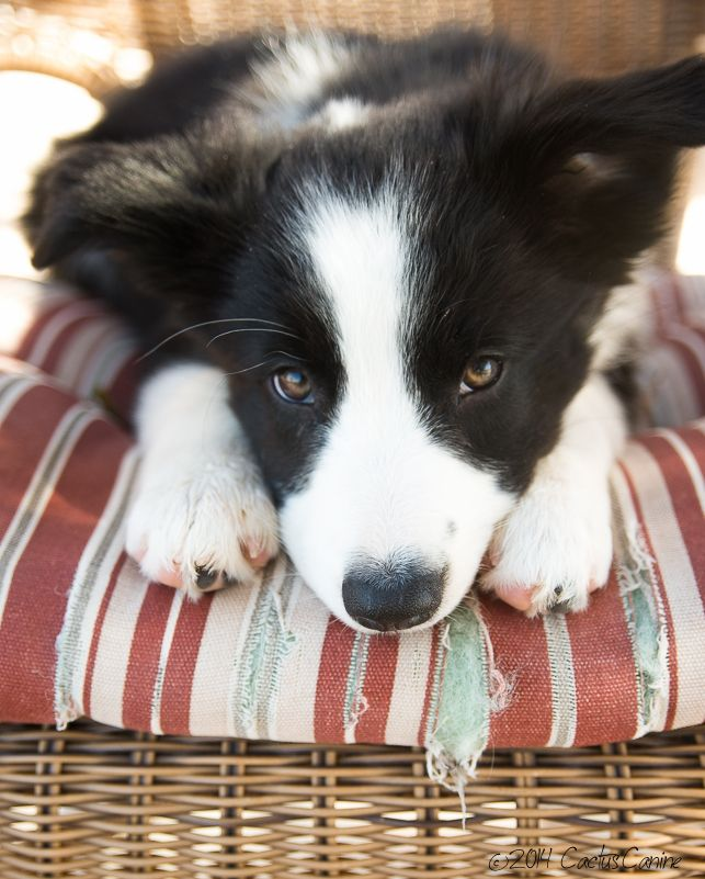 They grow so fast! #BorderCollie