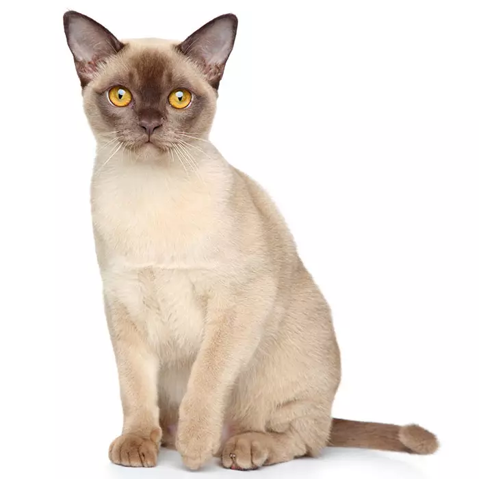 Burmese Cat Pet Insurance Compare Plans & Prices Cat