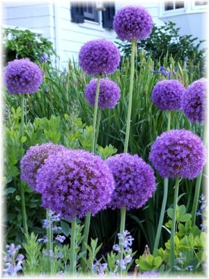 In Focus Allium Globemaster Allium Flowers Bulb Flowers Deer Resistant Plants