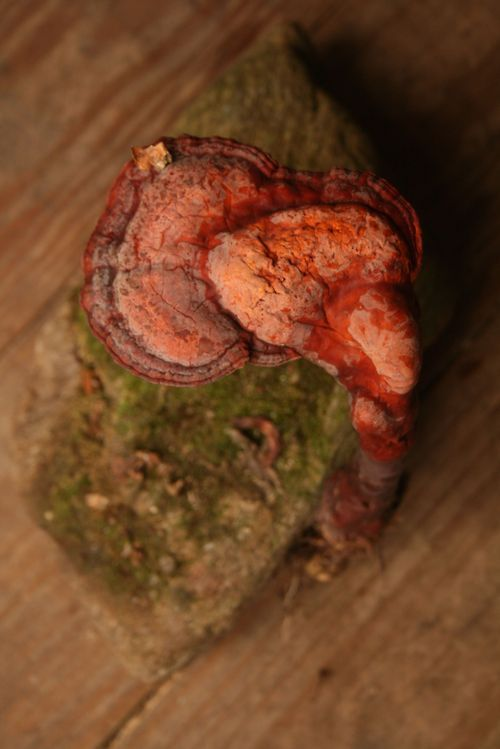 """Found my first Ganoderma lucidum or Reishi mushroom!  Often referred to as the """"Mushroom of Immortality"""" for it's antiviral, antifungal, anticancer, antibacterial, antioxident, liver protecting, hypoglycemic, immunoregulatory effects. :)  You can see where it got it's name.  Aka, I'm going to live forever.  Grows on the dead/dying roots of oak and beech trees."""