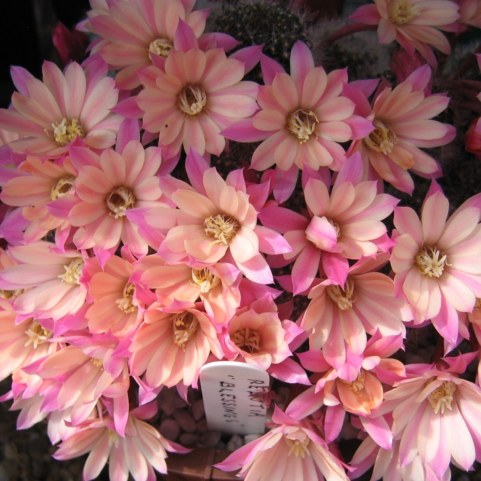Rebutia Blessings A Hybrid Obviously But Very Pretty Flower