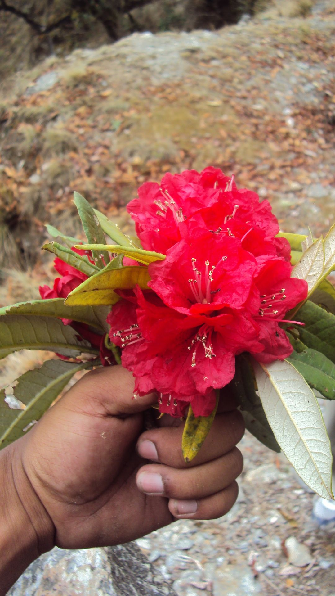 Rhododendron Nepals National Flower Nature Pinterest Nepal