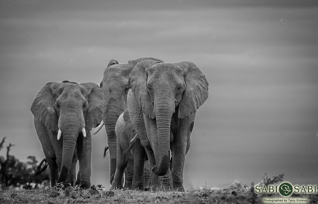 「A herd of elephants came over the horizon along with some much needed rain clouds. #elephant #herd #trunk #tusks #antipoaching #animal #wild #safari #big5…」