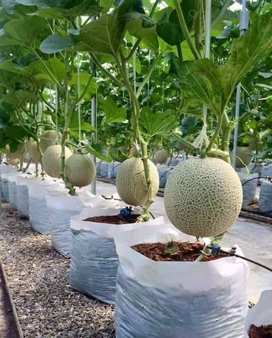 how to grow melons gardens container gardening and garden ideas. Black Bedroom Furniture Sets. Home Design Ideas