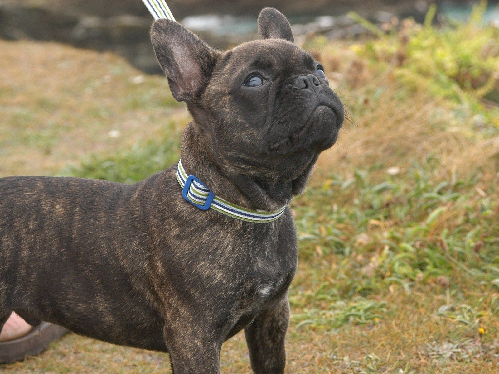 Is a French Bulldog for me? A Tale of Two Frenchies