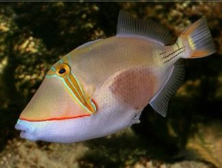 Black Patch Trigger Rhinecanthus Verrucosus Http Marinefishdirect Com Au Marine Fish Triggerfish Black Patch Trigger Marine Fish Sea Fish Ocean Creatures