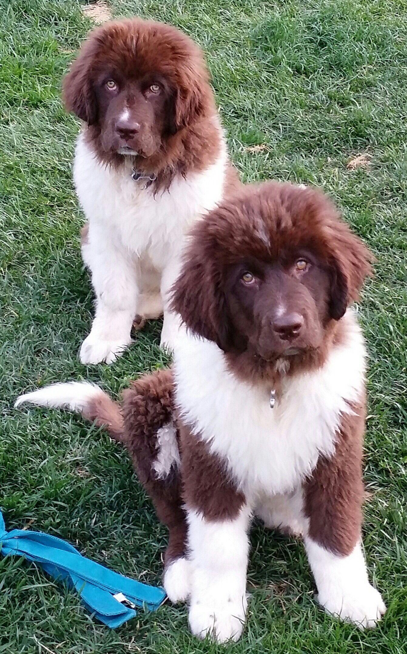 Twin Newfies Newfoundlanddog Newfoundland Dog Best Dog Names