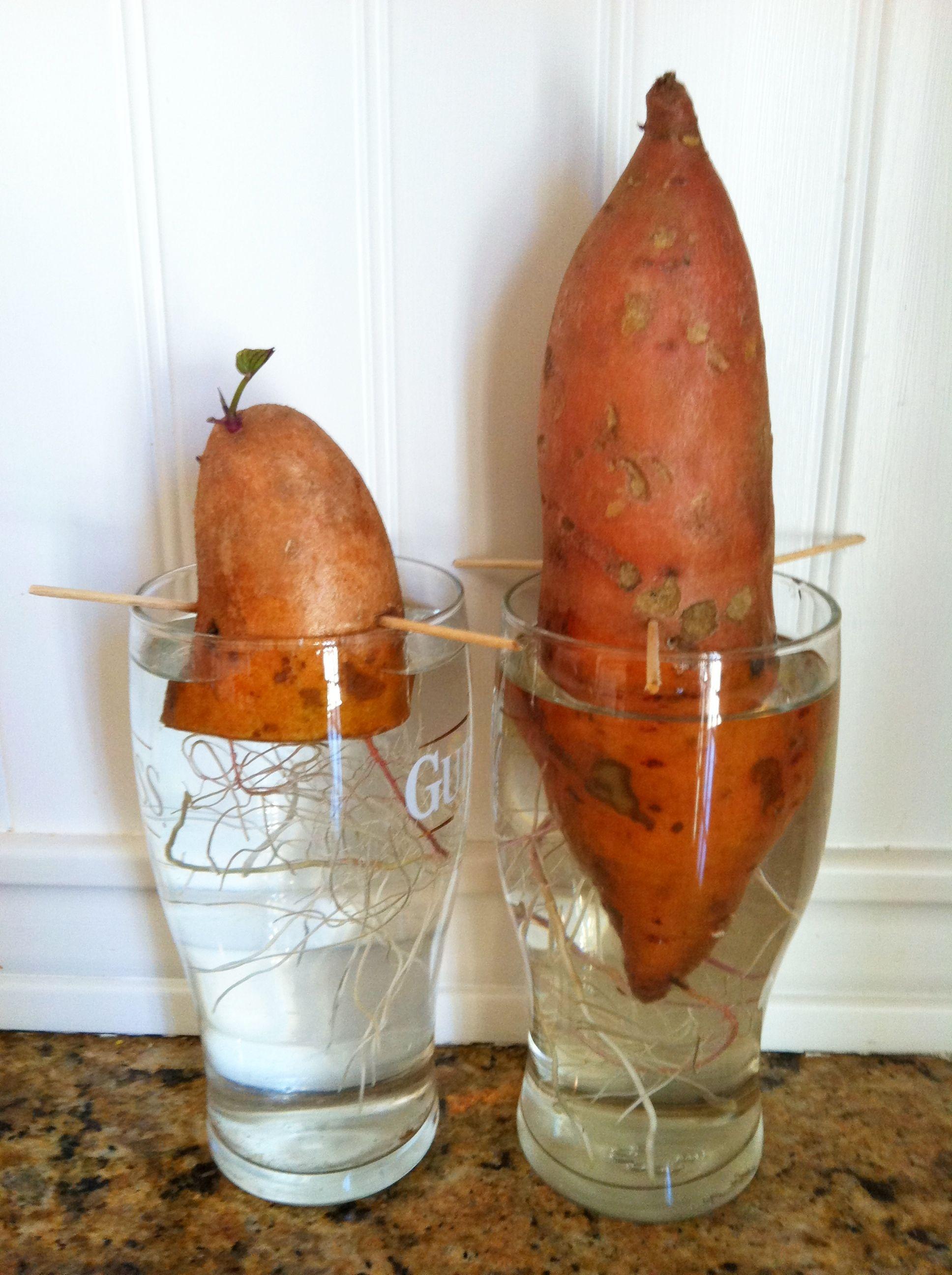 Grow sweet potatoes pineapple and more the organic