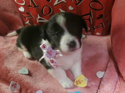 Corgi Yorkie Mix See Add On E Bay Classifieds Puppies Cute
