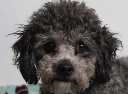 Petango Com Meet Ashton A 4 Years 2 Months Poodle Miniature