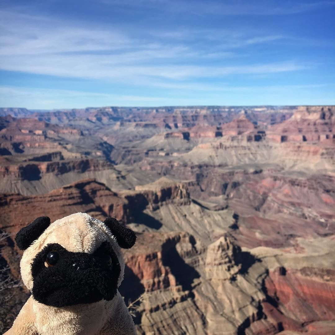 Mr. Pug visits the Grand Canyon. ——————————————  #travelingpug #roadtrip #cute #grandcanyon #mrpug #pugs #arizona #canyon #pug #travel
