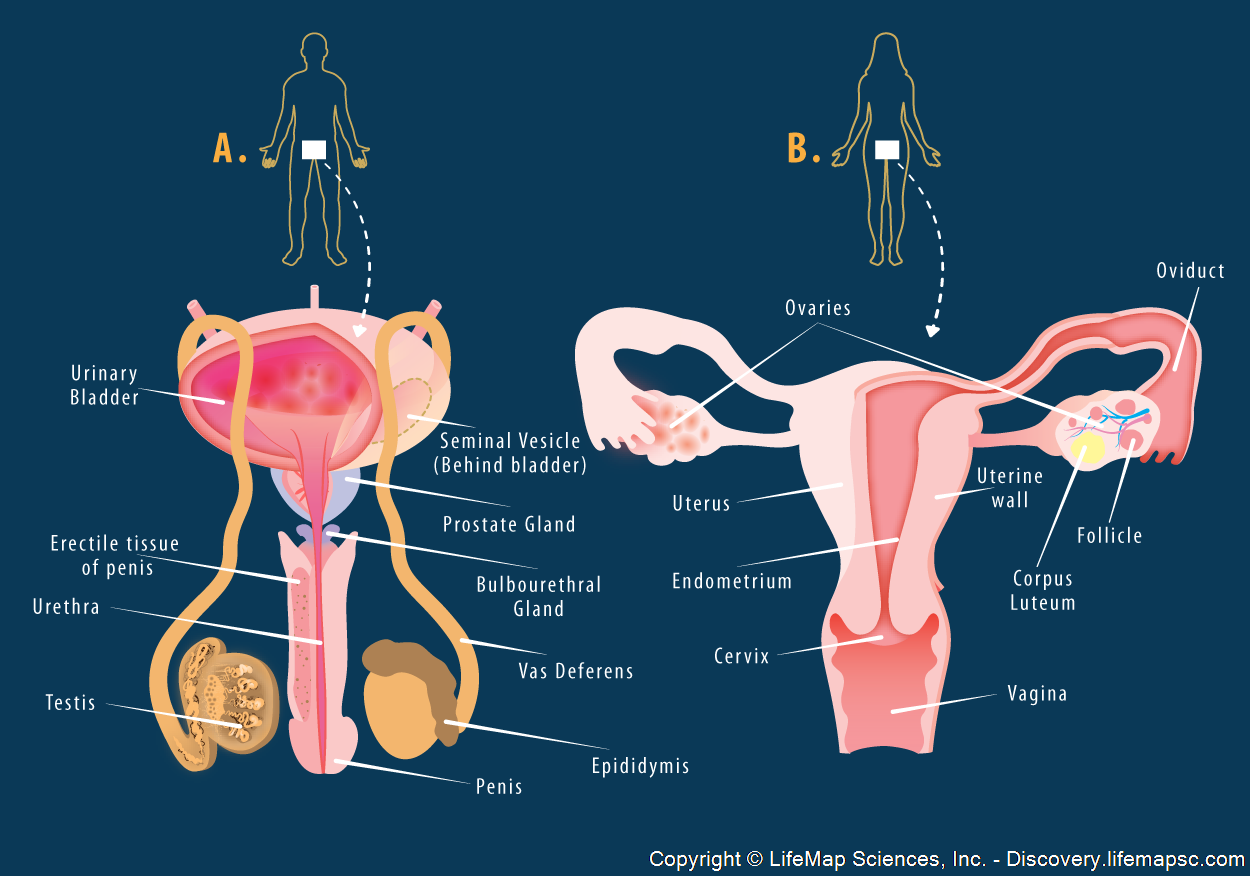 reproductive system - Google Search | anatomy // physiology ...