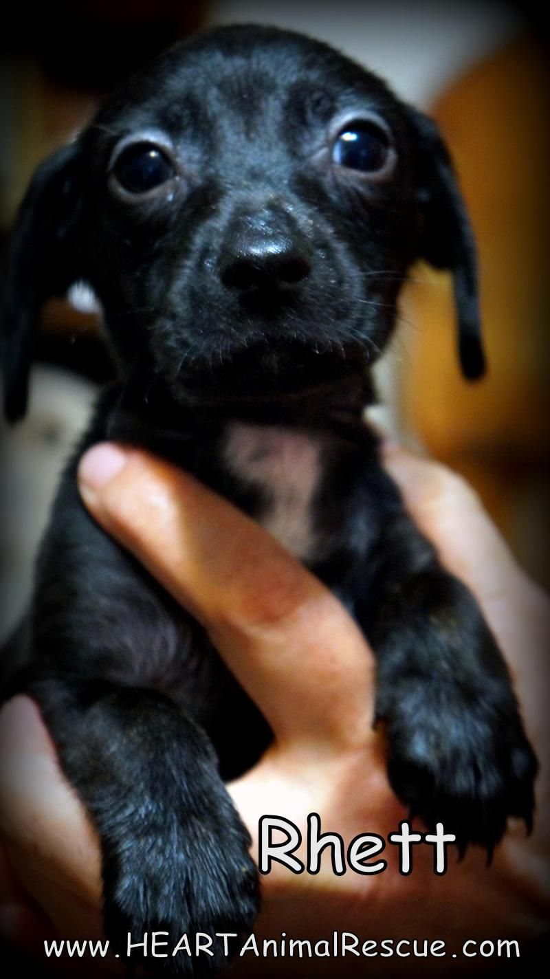 Adopt Rhett on Adoption, Animal rescue, Best dogs