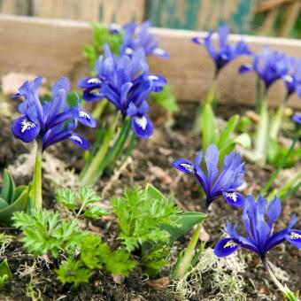 Rosliny Cebulowe Do Ogrodu Katalog Roslin Zielony Ogrodek Bulb Flowers Plants Flowers