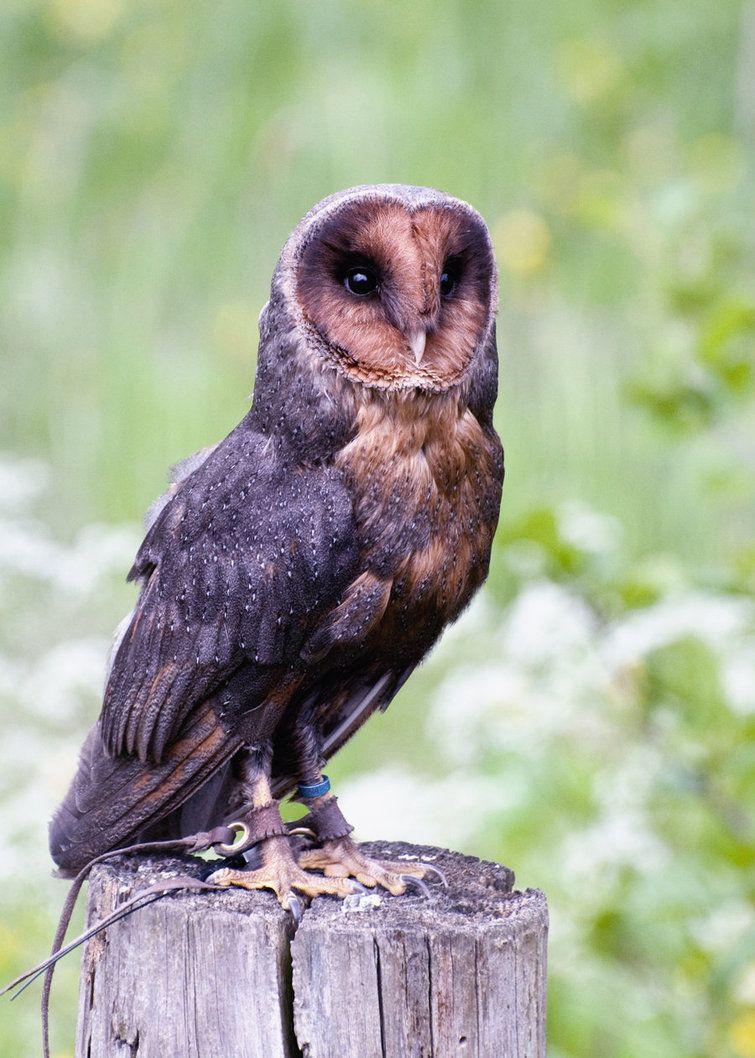 Melanism Barn Owl Melanistic Animals Owl Photography