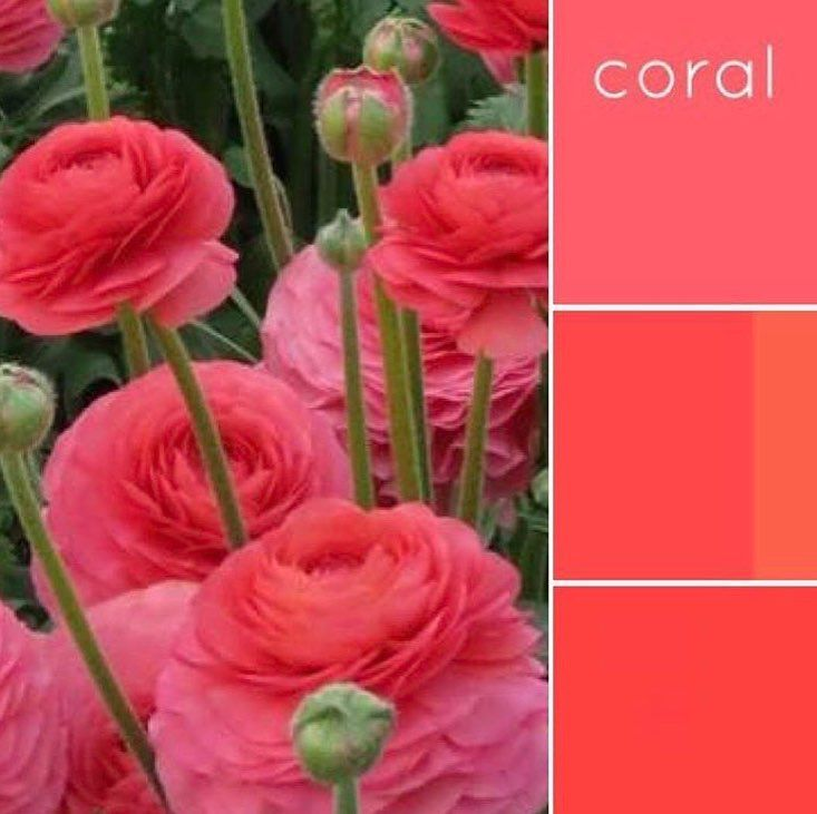 Italian Ranunculus On Instagram True Coral Ranunculus Every Flower Identical That S The Beauty Of Cloned Ranunculus Cloni Succes Flowers Ranunculus Plants