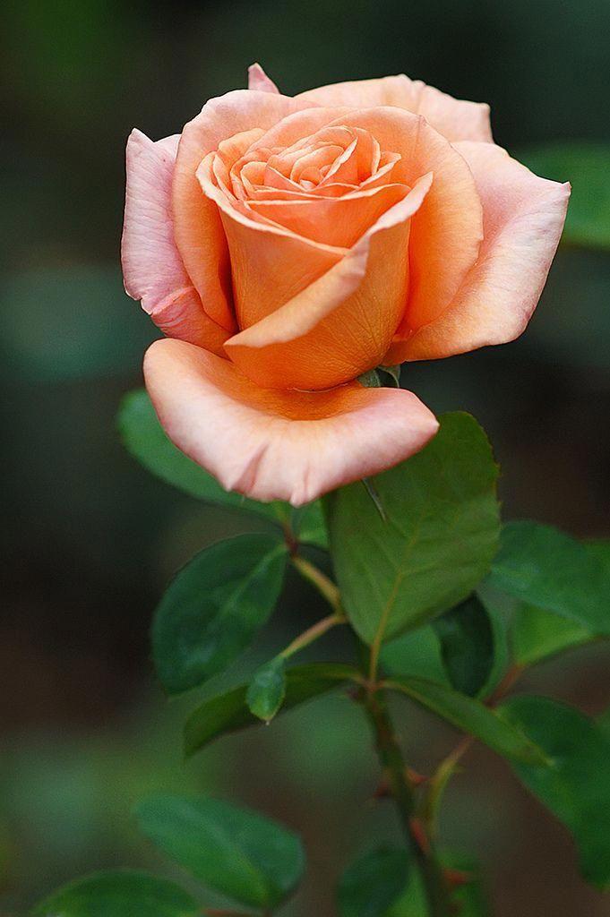 этом тнв красивая картинка цветов чайная роза изменения ракурса