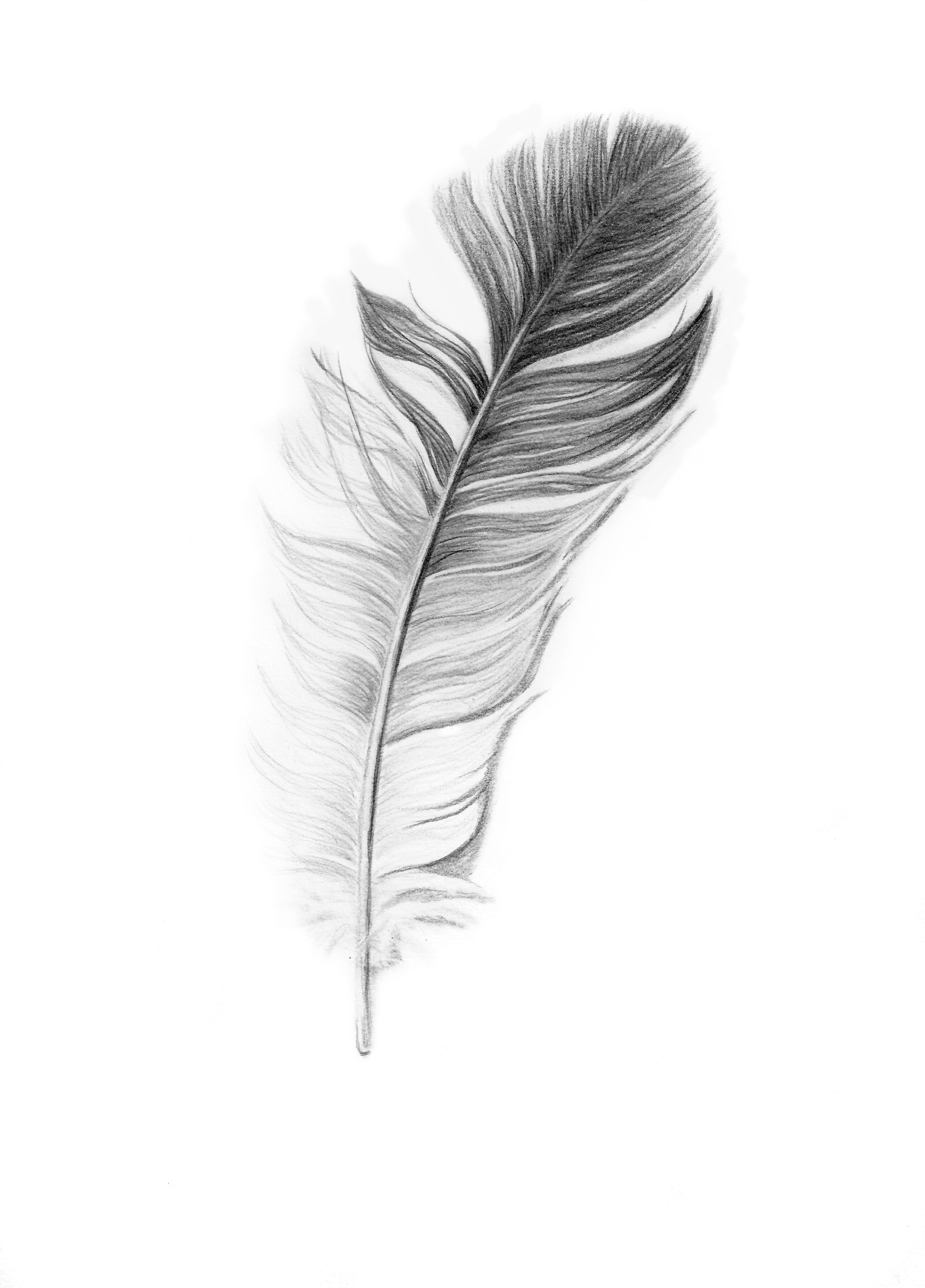 Veer Feather Pencil Drawing Print On Fine Art Paper By Sabine Van Loon Veer Feather Pencil Drawing Arte Plumario Plumas Dibujos Arte De Color Carbon
